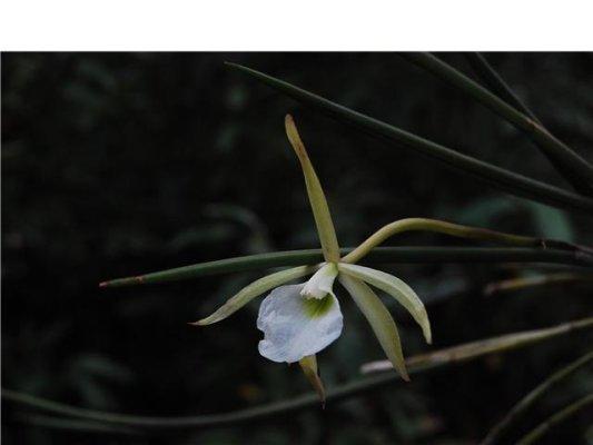 Orquídea La Amadito