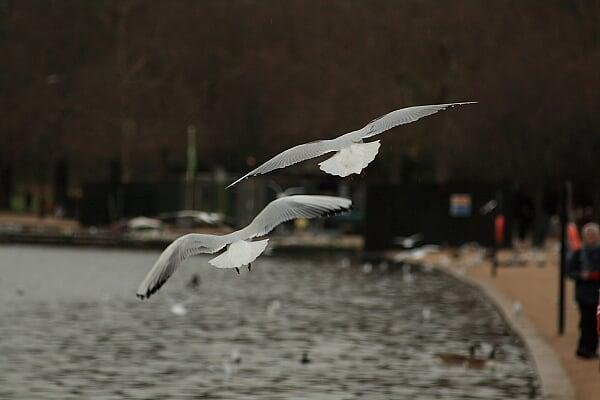 海德公园河上的飞鸟